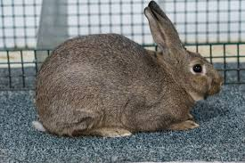 Chestnut Agouti: Five Fun Facts – Rabbit Smarties : Creative Resources for  Rabbit Keepers